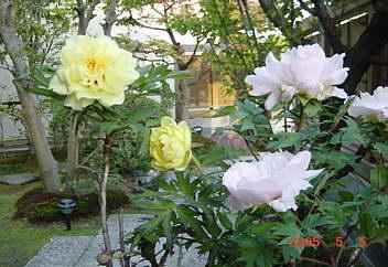 5.自宅の前庭(黄色い牡丹)