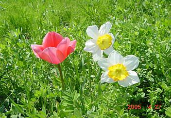 8.野の花(チュウリップ・スイセン)