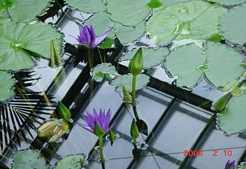 春よこい!!  熱帯の水辺スイレン(原産地タンザニア)〜富山県立植物園 2006.2.10