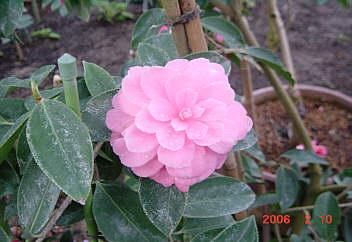 春よこい!!  トウツバキ・菊弁(原産地雲南省)
