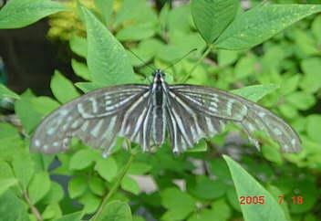 1、我が家の庭先に蝶が舞う(前庭)